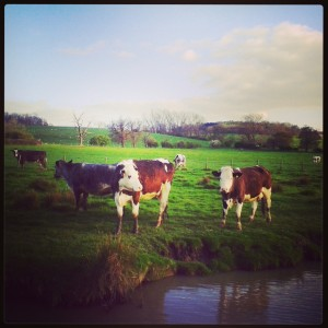 canalside cows